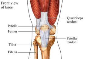 Knee Tendons